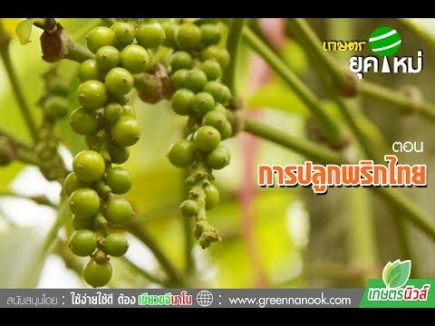 เกษตรยุคใหม่ การปลูกพริกไทย