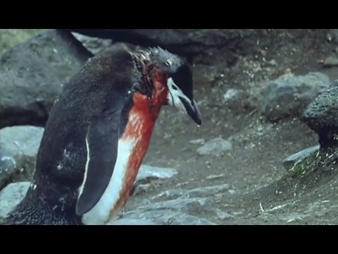 Heartbreaking! Ultimate Penguin Sacrifice - Life in the Freezer - BBC