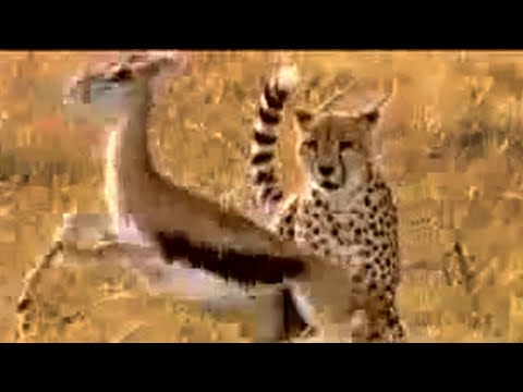 Cheetah vs gazelle - BBC wildlife Video