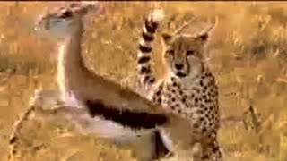 Cheetah vs gazelle - BBC wildlife