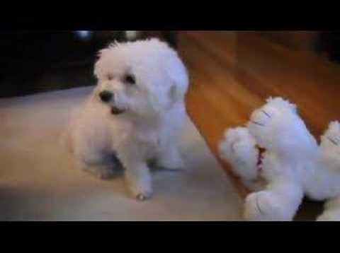 Maltese Bella Barking