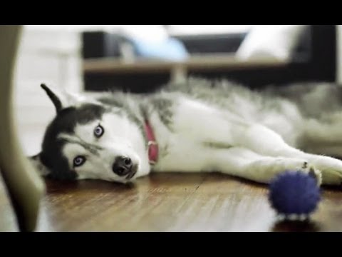Mishka the Talking Husky's First TV Commercial!