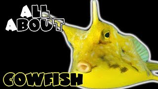 All About The Cowfish