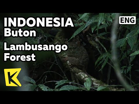 【K】Indonesia Travel-Buton[인도네시아 여행-부톤]람부상오 숲과 희귀동물/Lambusango Forest/Tarsier