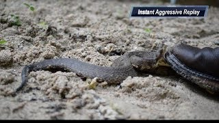 Chased By A Nest of Cottonmouths