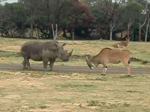 Rhino VS Antelope