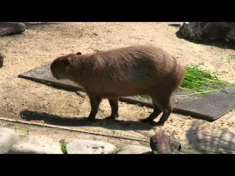 カピバラ (東山動植物園編)一緒に泳ぎましょう