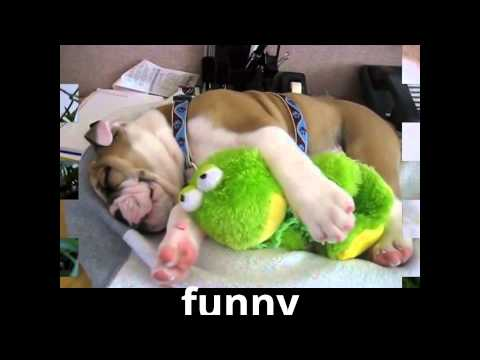 Animals Funny Animal The Animal Funny Videos Funny English Bulldog Funny Compilation 2014 video