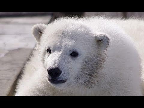 雪山を登るホッキョクグマの赤ちゃん~Polar Bears Baby Climbs the Snow Mountain