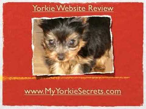 Yorkie hair cuts -- All about Yorkie Grooming Styles Animals 01:47