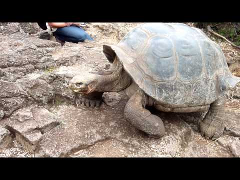 Galapagos Giant Tortoise walking.