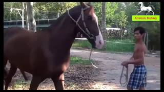 Horse Animal Breeding (Educational) - Top Animals Mating