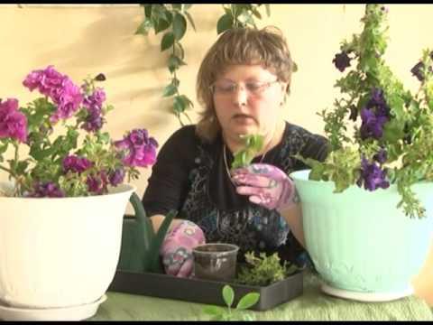 Сохранить красоту - черенкование петунии