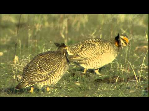 Postcard: Lesser Prairie Chickens - Texas Parks and Wildlife [Official]