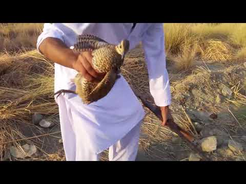 teetar hunting in pakistan local style
