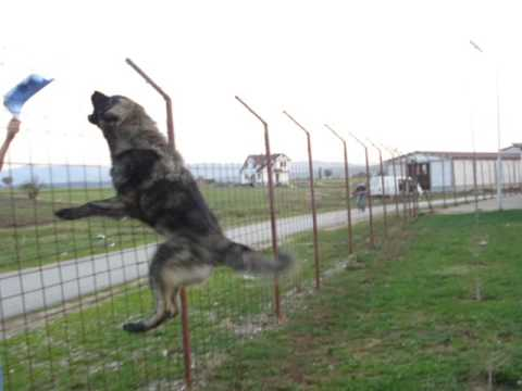 Qeni Sharrit Illyrian Sheepdog - Deltari Ilir