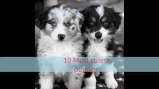 10 Most Cutest Puppies