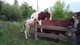Розмноженя корів частина 2