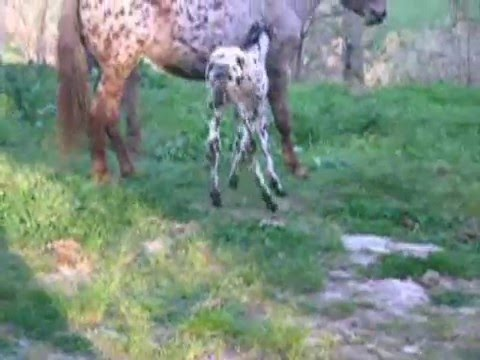 Young Italian Appaloosa 4 days old