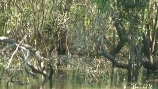 Mangrove Forests of Moreton Bay