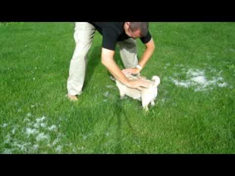 Amazing Shedding Pug Dog Hair Removal Technique Youtube