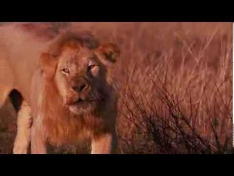 Львы разоряют логово гиен