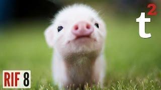 Pig Prosecuted For Murder? RIF 8