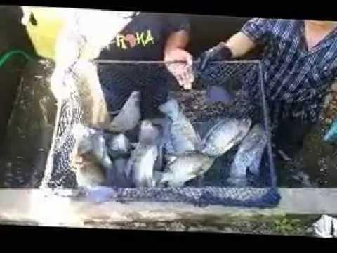 Criação de tilápia em tanque caseiro no fundo do quintal