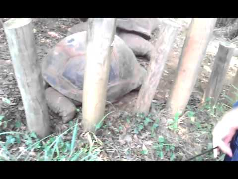 Giant tortoise at knoville zoo