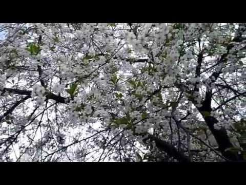 Весна, цветение фруктовых деревьев, пчелинный рой#