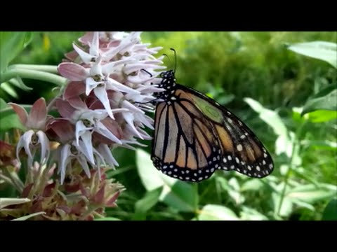 Meet Minnie, the 9+ Month-Old Monarch Butterfly Who Decided To Stay!