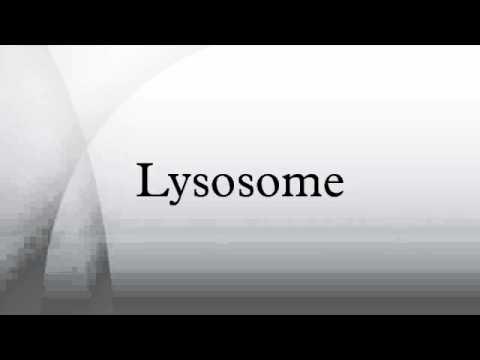 Lysosome