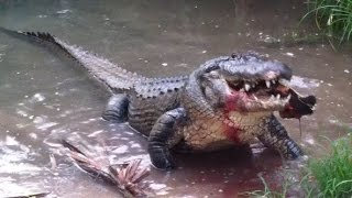 Alligator Eats a Huge Turtle!