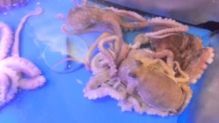 Baby Octopuses in a fish tank
