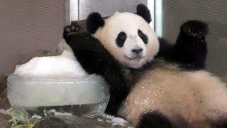 Download Lagu 【氷DEストレッチw✨】🐼子パンダ結浜🎀氷遊びもパパそっくり!?🍧✨【with永明さん】Giant Panda -Yuihin-☆resemble father✨ Gratis STAFABAND