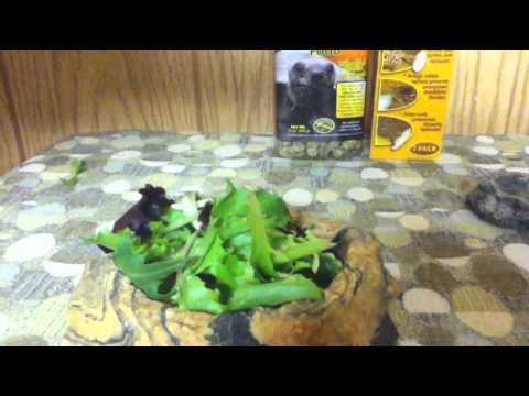 Marginated Tortoise Care Marginated Tortoise Diet