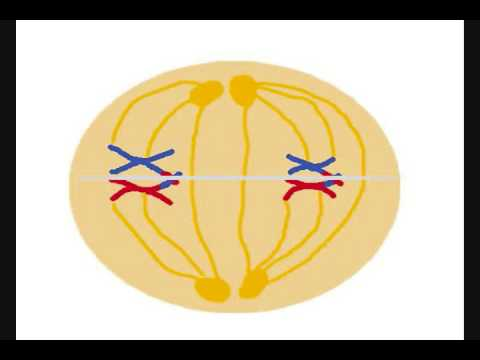 Best Meiosis Video Ever video