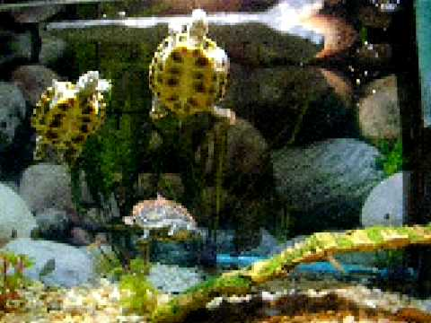 Red Ear Slider Tank