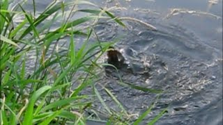 Нерест линя в реке _ лето 2014 / Tench spawning on the river _ summer 2014