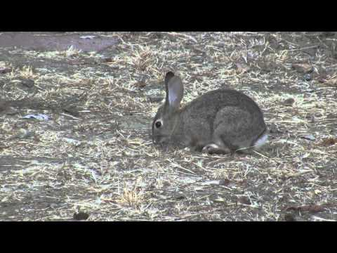 Wild Cottontail Rabbit nature series zoomed closeup realtime HD 20 sec V10227