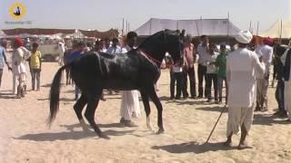 Marwadi horse Stallion
