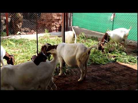 Sunil Wayal Indrayani Bore Goat Farm Baramati