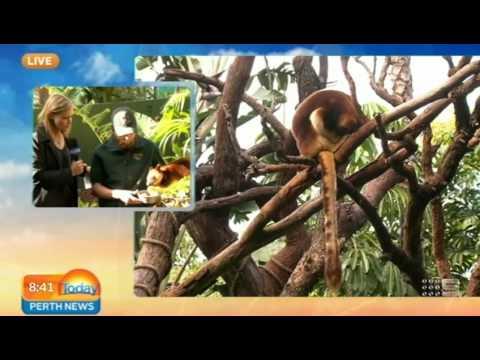 Tree Kangaroo   Today Perth News