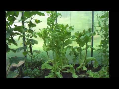 Gewächshausgurken Und Zucchini Anbau Im Selbstversoergergarten, Kleingewächshaus