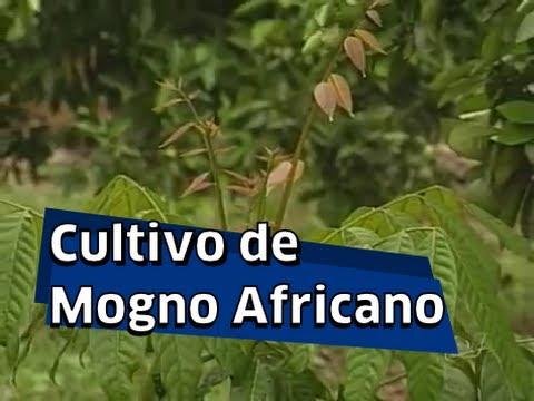 Cultivo de Mogno Africano - Matéria do Jornal do Campo
