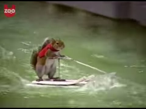 Waterskiing Squirrel Video