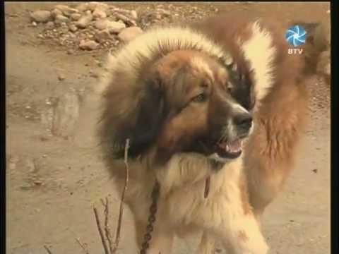 BTV ZINIOS 20120115 Klaipėdos rajono kaimu gyventojams mokestis uz sunis ir kates