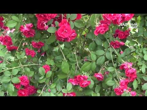 """Как подкармливать плетистую розу. Сайт """"Садовый мир"""""""