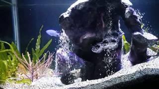 Meet the Bobbit Worm and his underwater waterfall aquarium eunice aphroditois eating