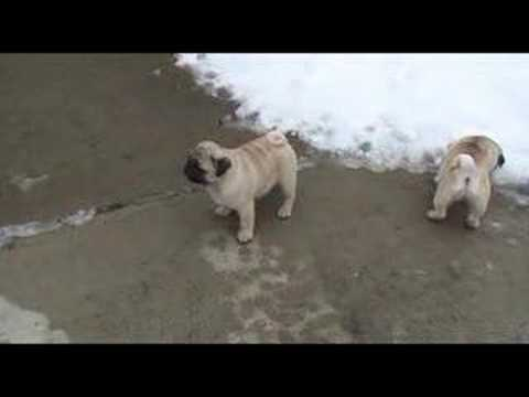 pug puppies wallpaper. Pug Puppies First Outing
